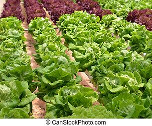 Hydroponic Lettuce in greenhouse