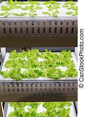 Hydroponic salad vegetable