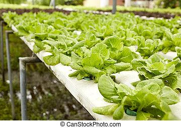 Hydroponic - Fresh salads in the garden,Hydroponic...