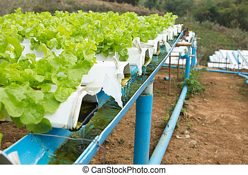 Hydroponics Vegetable the nutrition in the future.