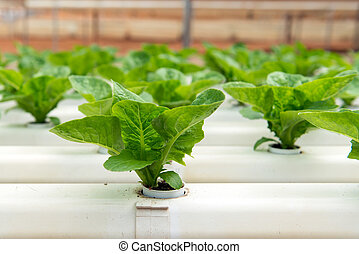 Hydroponic vegetables growing in greenhouse at Cameron...