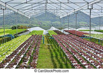 Hydroponic vegetables growing in greenhouse ,Clean food...