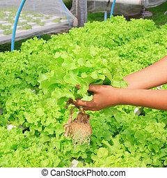 hydroponic, vegetal, (green, oak), en, granja
