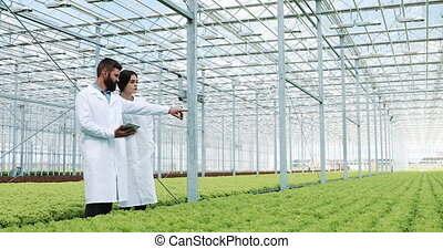 Hydroponics method of growing salad in greenhouse. Two lab...