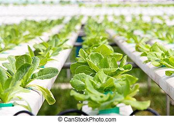 Hydroponics vegetable farm, close up of Lettuce Crop Lactuca Leaf Vegetable