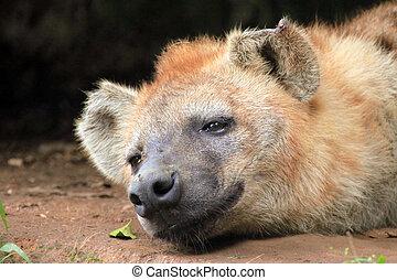 Hyena - African Wildlife - Spotted Hyena - Wildlife in...