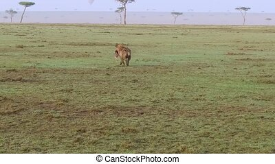 hyena carrying carrion in savanna at africa - animal, nature...
