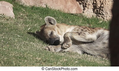 Hyena falling asleep moving legs in super slow motion -...