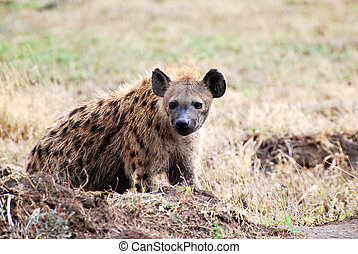 hyena in Tanzania national park