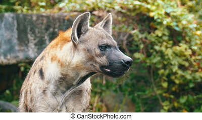 Hyena in the wild looks around. Khao Kheow Open Zoo....