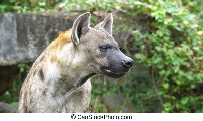 Hyena in the wild looks around. Khao Kheow. Thailand - Hyena...
