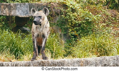 Hyena in the wild looks around. Thailand - Hyena in the wild...
