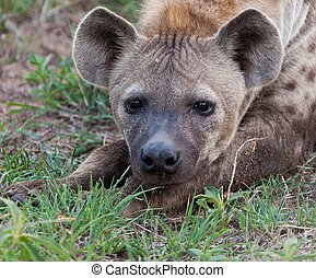 Hyena in the wild