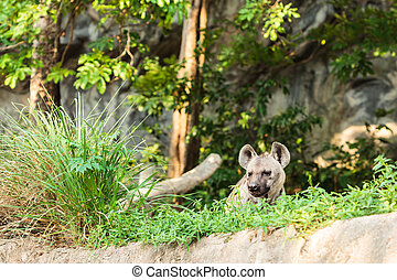 hyena in the zoo