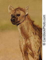 Hyena portrait - Portrait of a spotted hyena, Kalahari,...