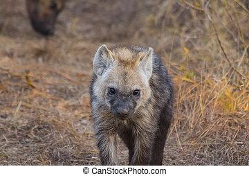 Hyena pup slowing walking forwards 2