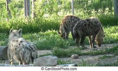 Hyena relaxation