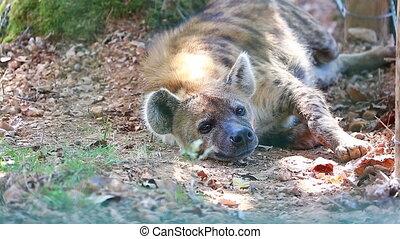 Hyena Resting On The Floor