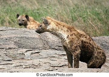 Hyena - Serengeti, Africa - Hyena - Serengeti Wildlife ...