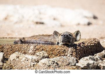 Hyena sleeping in the water