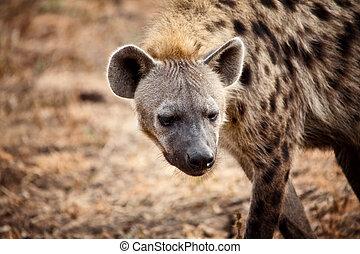 hyena, stående