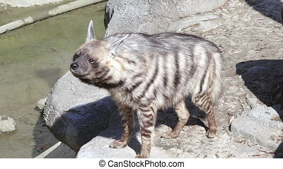 hyena standing and looking to camera.