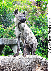 Hyena standing on the rock
