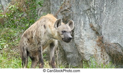 Hyena stands on a rock in zoo - Hyena stands on a rock