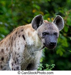 Hyena