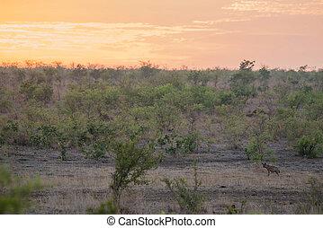 Hyena Sunset