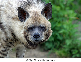 Hyena - The image of a hyena on a background of a grass
