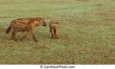 hyena with cub in savanna at africa - animal family, nature...