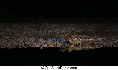 hyenas drinking water in waterhole - Front view of Hyenas...
