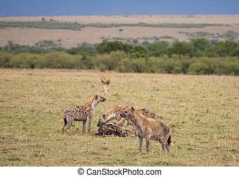 Hyenas running from lion