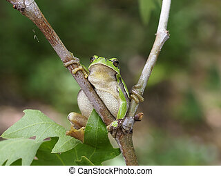hyla, arborea, baum, europäische , frosch