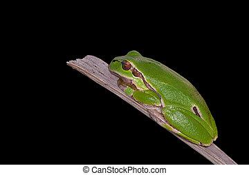 Hyla arborea - European Green Treefrog, Hyla arborea,...