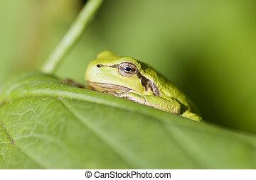 hyla, baum, arborea, -, frosch