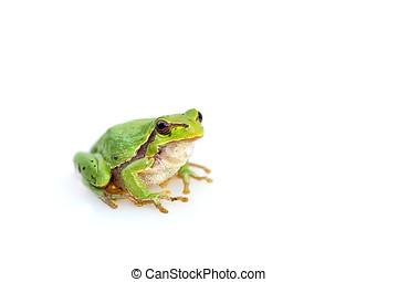 hyla, meridionalis, gewöhnlicher frosch