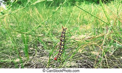 Hyles euphorbiae caterpillar on a stalk of grass, summer day