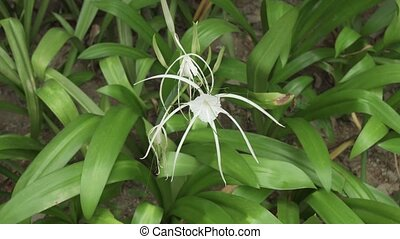 Hymenocallis beautiful tropical flower in park stock footage...
