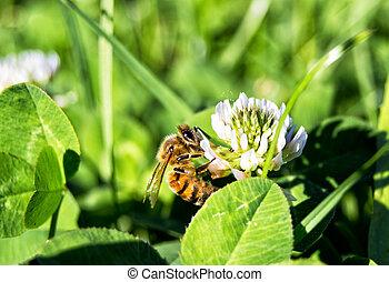 hymenoptera, flor, mellifera, apis, -, abelha, mel,...