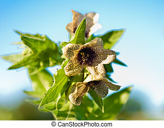 Hyoscyamus toxic - wild-growing poisonous herb Hyoscyamus