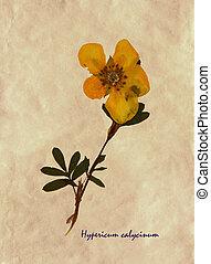 Hypericum calycinum in herbarium - Herbarium from pressed ...