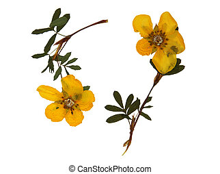 Hypericum calycinum in herbarium - Pressed and dried flowers...