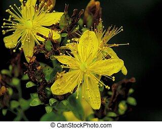 Hypericum. - Flowers of a hypericum on a years meadow,...