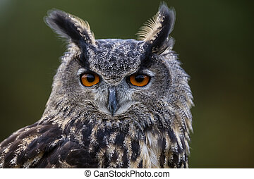 Hypnotic - Eurasian Eagle Owl staring at the camera with big...