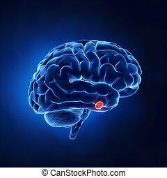 hypofyse, klier, deel, -, menselijke hersenen, in, rontgen,...