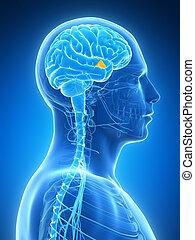 Hypothalamus - 3d rendered illustration - hypothalamus