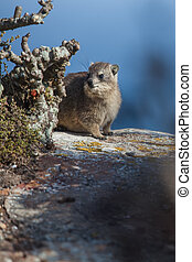 Hyrax in hiding