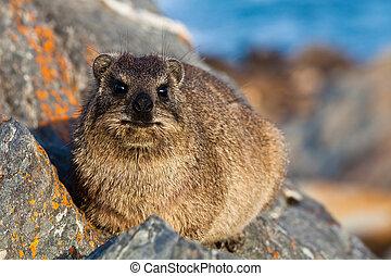 hyrax, leżący, skała